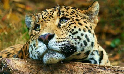 jaguar big cute wild cat desktop hd wallpaper  mobile