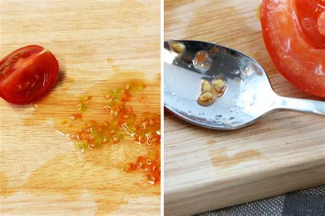 Tomaten Aus Samen Selber Ziehen 5495 by Tomaten Pflanzen Selber Ziehen So Gelingen Anzucht Und