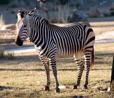 black zebra black and white zebra colors photo 34704967 fanpop