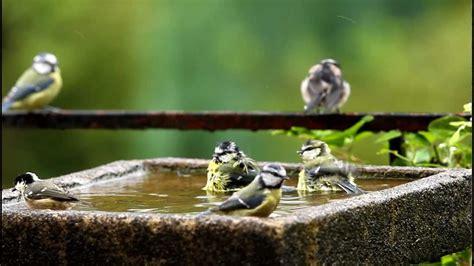 bedlam in the bird bath youtube