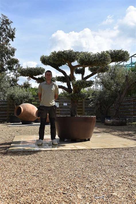 potted cloud olive tree standard olive tree olive