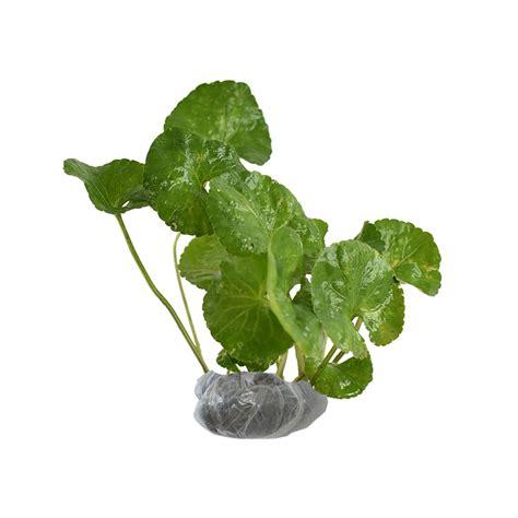 Tanaman Violces Ungu tanaman violces obat bibitbunga