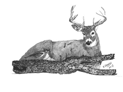 Whitetail Buck And Blue Jay Drawing by Virginia Cleary Whitetail Buck Drawings