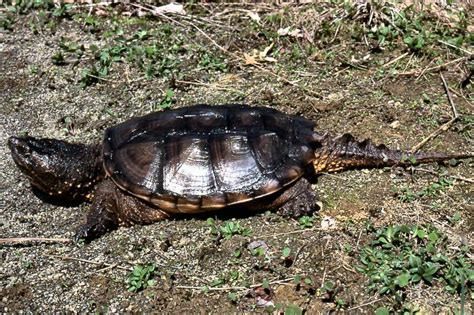 pa fish and boat species tn turtles id biology 4830 with combs at tennessee