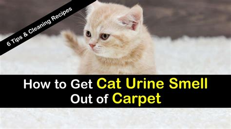 get cat urine smell out of how to get cat urine smell out of carpet 6 tips and