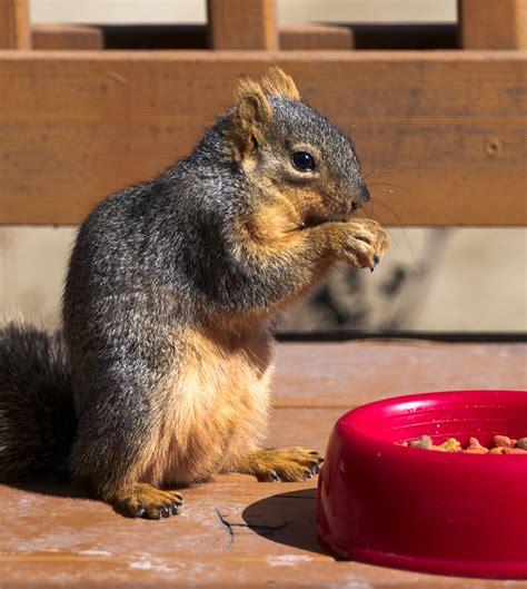 squirrels chewing decks do squirrels carry rabies www whatdosquirrelseat org
