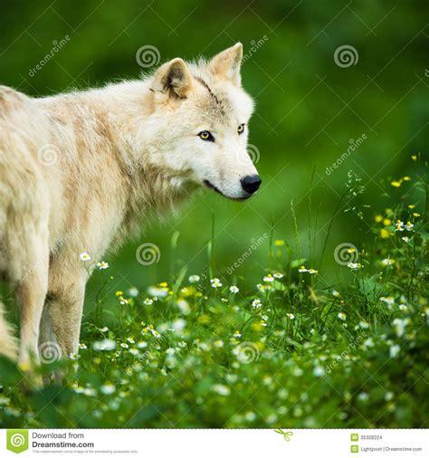 arctic wolf aka polar wolf or white wolf stock images image 35328224