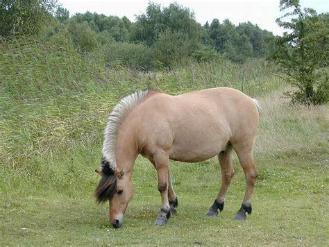 fjord horse facts 6 things you didn t know about the fjord horse
