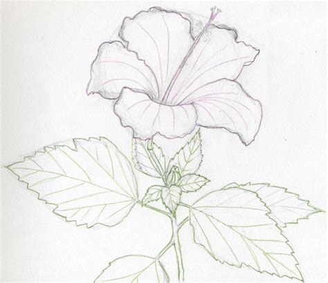 Drawing Flowers by Hibiscus Flowers Drawing Tutorial