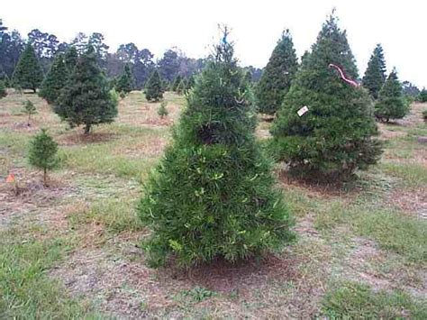 virginia pine christmas trees