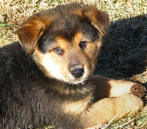 chow chow rottweiler mix beagle mix dogs pictures photos pics images gallery breed puppies breeds picture