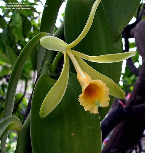 plantfiles pictures species orchid vanilla orchid commercial vanilla flat plane leafed