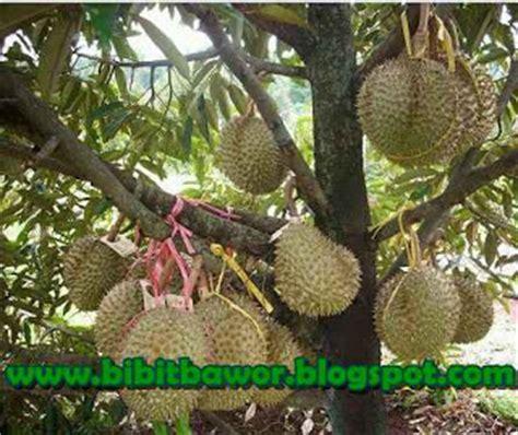 Jual Bibit Durian Bawor Cangkokan bawor berbuah tanpa musim bibit durian bawor jogja