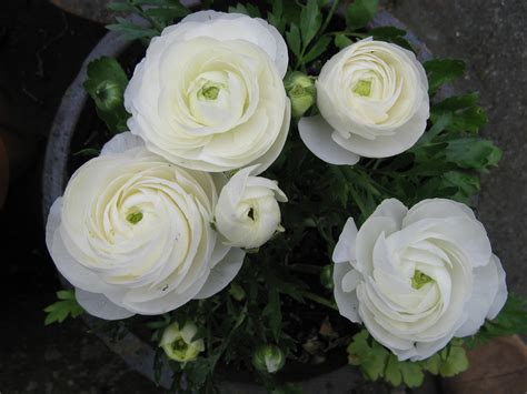 White Ranunculus   Kelli's Wedding!   Pinterest   Brooches, White flowers and Lace