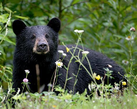 imagenes oso negro oso negro wiki reino animalia fandom powered by wikia