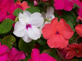 Wedding Flowers Names Impatiens How To Plant Grow And Care For Impatiens Flowers The Old Farmer S Almanac