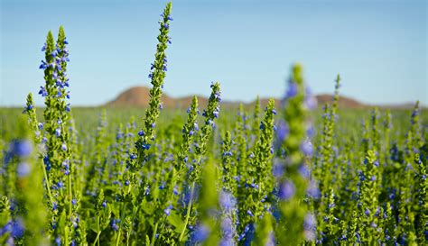 The Remarkable Nutritional Profile Of The Chia Seed Chia Flower Garden