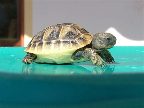 tartaruga hermanni alimentazione clinica veterinaria gaia ancona