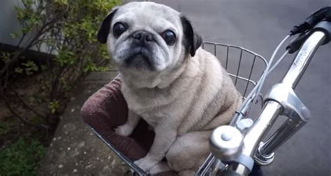 pug bike pug is all ready to go on a bike ride now him the time of his