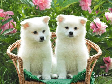 cute dog wallpapers cute puppies free hd desktop wallpapers