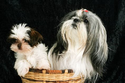 shih tzu personality traits what personality traits your shih tzu has