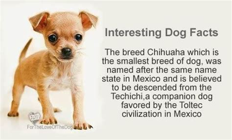 facts about dogs and puppies wow i never new that the chihuahua was named after a mexican state i learn a new fact about dogs every day dogs chihuahuas