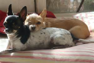 Puppy rescue az the adorable dog pictured above is a puppy mill rescue