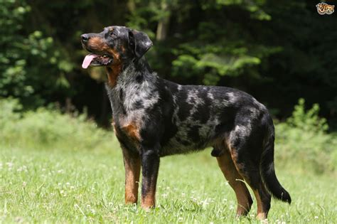 caring breeds beauceron breed information facts photos care pets4homes