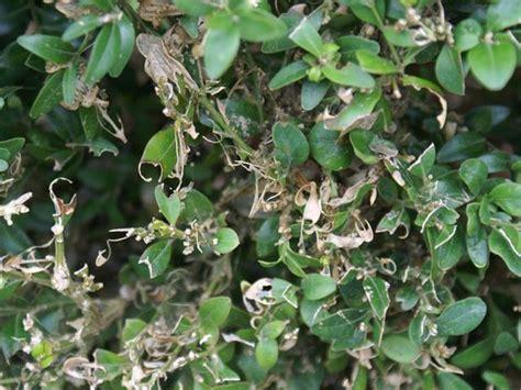 Buchsbaum Krankheiten Sch Dlinge 3779 by Buchsbaum Braune Bl 228 Tter Hilfe Mein Buchsbaum Bekommt