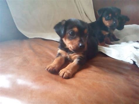 yorkie crossed with chihuahua chihuahua cross terrier puppies for sale romsey hshire pets4homes