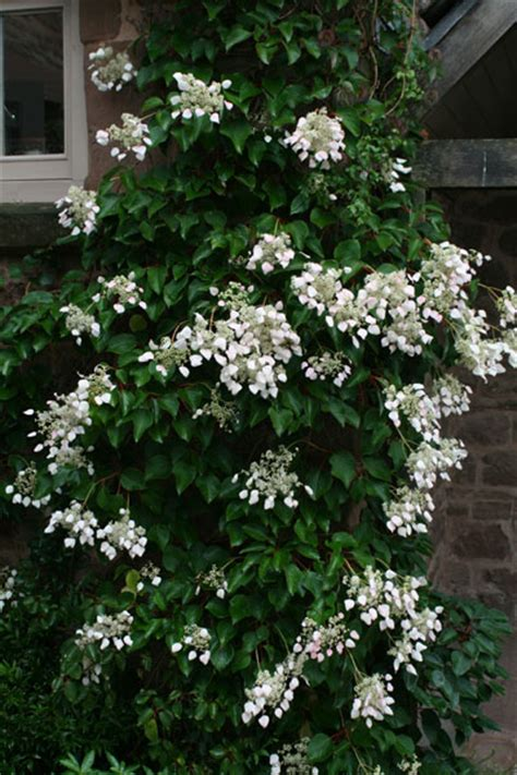 japanese climbing plants japanese hydrangea vine heavenly hydrangeas