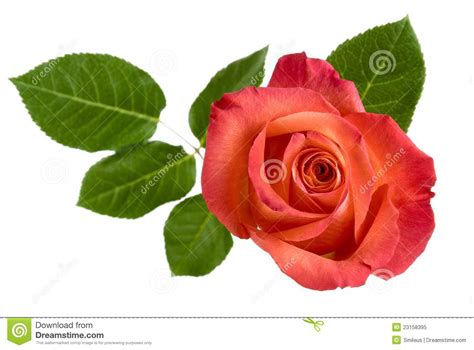 House Design Free Download by Top View Of Isolated Red Rose With Leaves Royalty Free