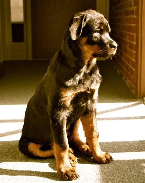 information about rottweilers 10 interesting facts about rottweilers many