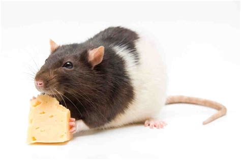what could really happen if you eat rodent infected food