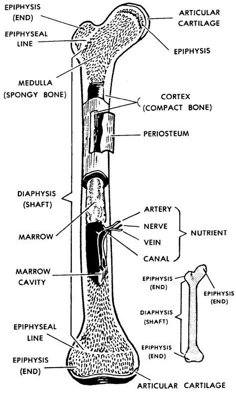Images 04. Skeletal System | Basic Human Anatomy