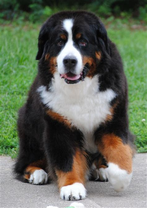 bernese mt bernese mountain info temperament puppies pictures