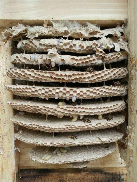 Bienen Rolladenkasten Vertreiben wespennest im rolladenkasten wespen hornissen