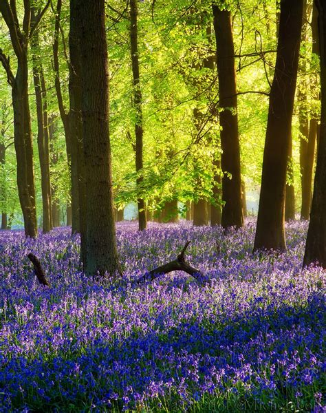 bluebell forest photo album html version of robertodemicheli com