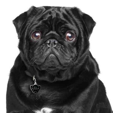 pug negro placa identificativa pug negro perro myfamily