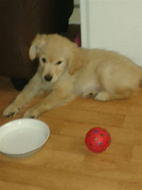 golden retriever 14 weeks 14 week golden retriever worcester worcestershire pets4homes