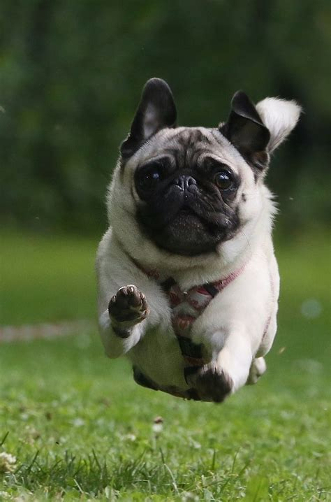 where can i buy pug puppies 25 best ideas about pugs on pugs