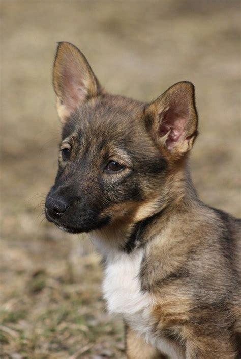 wolf corgi puppy swedish vallhund puppy looks like a wolf corgi
