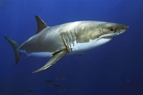 Shark In The fascinating facts about great white sharks
