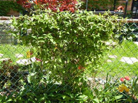 chain link trellis chain link coverage clematis