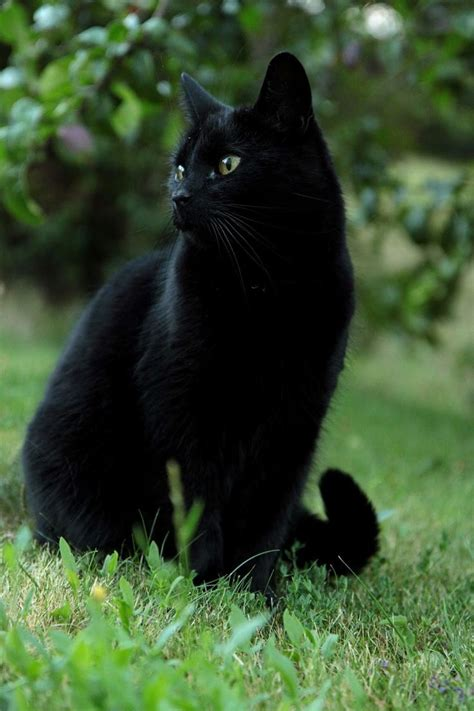 Black Cat top 25 best black cats ideas on black