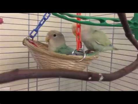 how to make a bird swing adorable lovebirds playing with their bonka bird toys