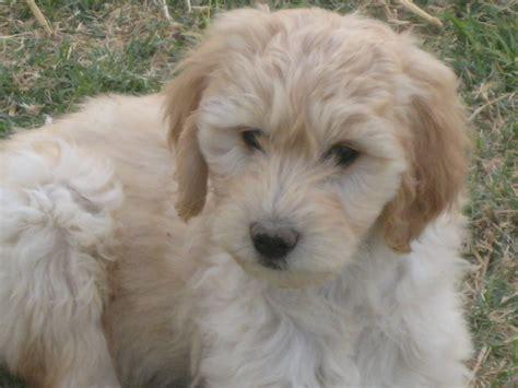labradoodle puppies for sale in az labradoodle puppies for sale az az home raised puppies