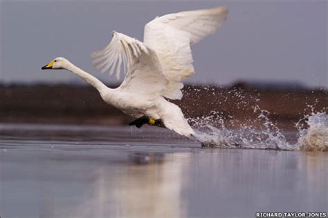 bbc news in pictures the world s water birds happy