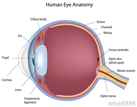 schematic section of the human eye what is an eye bank with pictures