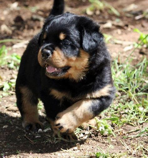 i want to buy a rottweiler puppy 17 best ideas about rottweiler puppies on baby rottweiler rottweiler pups